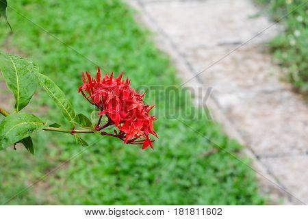 Ixora flower red beautiful in the garden