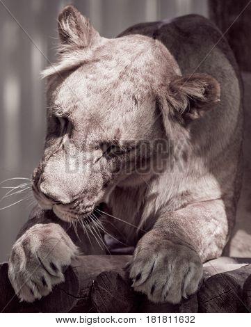 Wild animal lying lioness licks its paw closeup