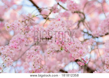 Nature background of Pink Weeping Cherry blossom branches in horizontal frame