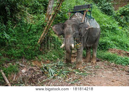 Closeup image of an elefant eating grass in the tropical rain forest of Khao Sok sanctuary, Thailand