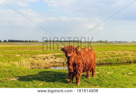Proud Highland cow with horns and still in a thick winter coat is looking at the photographer at the edge of the water of a ditch on a sunny day in the beginning of the spring season.