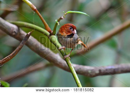 Short-tailed Parrotbill Bird