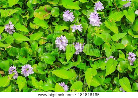 water hyacinth flower in natural beautiful background