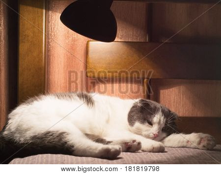 Tired fat scottish cat dozing on the bed under the light of night lamp