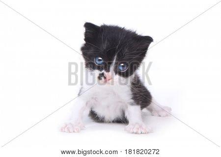 Adorable Baby Tuxedo Style Kitten On White Background