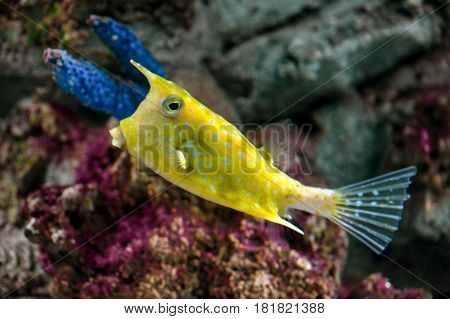 Longhorn cowfish (Lactoria cornuta) close-up  under water against colorful corals background
