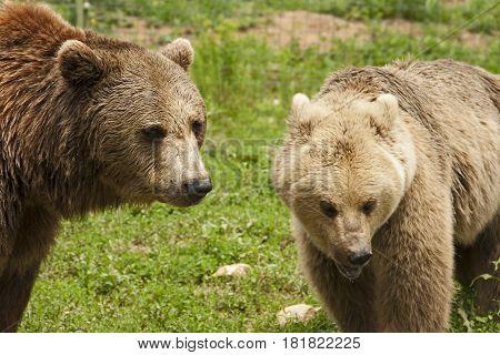 Brown bear companionship in bear sanctuary Transylvania, Romania