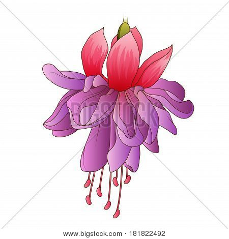 Fuchsia flower isolated on a white background