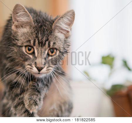 Ruffled tabby cat prepares to attack prey.