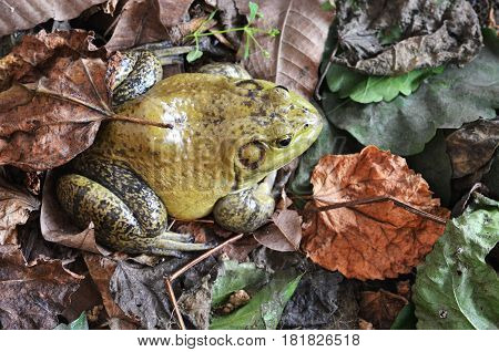Muddy Green Bull Frog