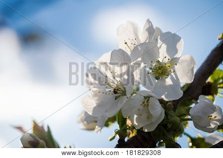 Few Spring White Blooms Of Cherry-tree
