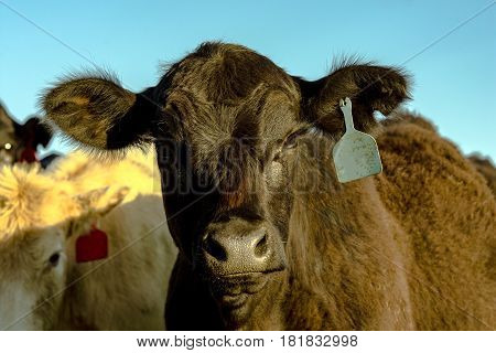 Black Angus heifer face with other heifers in background