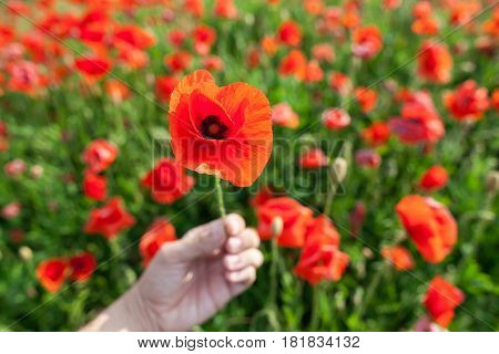 Nature, spring, blooming flowers concept - close-up on red poppy in a hand of a person on a bright red and green background of poppy flowers.