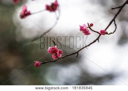Prunus Mume In Korean National Cemetery