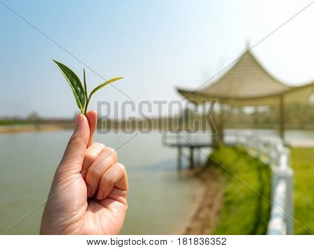 Close-up image of human hand holding tea leaf look like a tree with blurred pavilion on lake and sky background