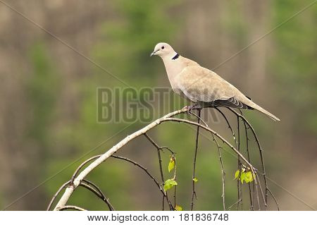 Beautiful image of a bird in a tree. Collared dove (Streptopelia decaocto)