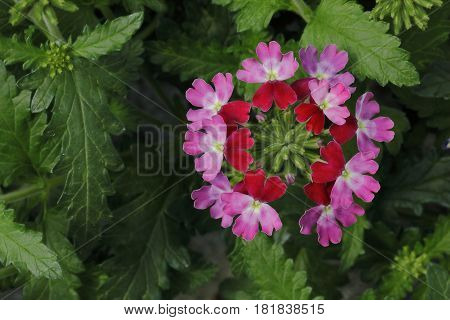 Small multicolored flowers of lantana plant are bloated in spring