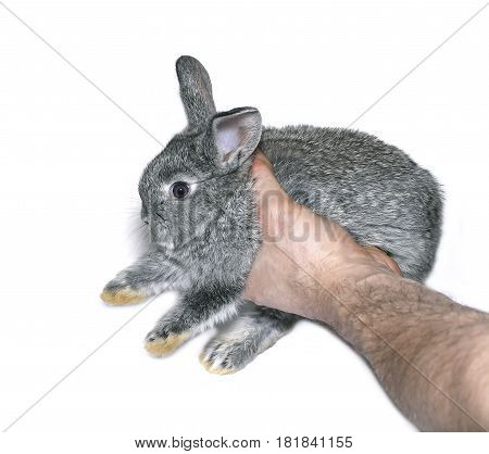 Little gray rabbit breed of gray chinchilla in male hand isolated on white background