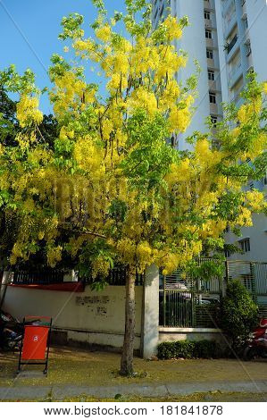 Cassia Fistula Tree, Yellow Flower