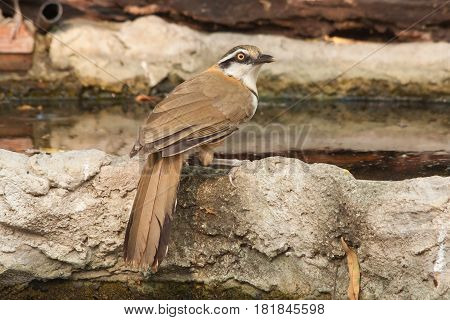 The Lesser Necklaced Laughingthrush bird drink water in the pond