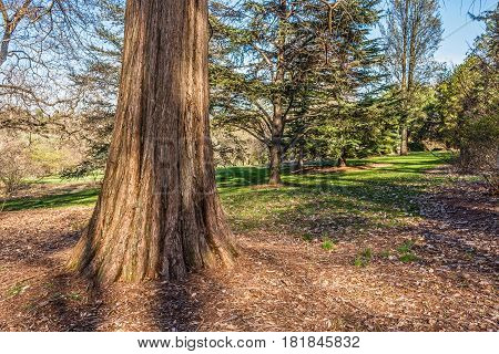 A large cypress tree in the David C. Shaw Arboretum Holmdel Park in NJ.
