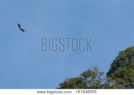 White-bellied Sea-Eagle soaring flying high above with wings fully spread with a light blue sky back ground with copy space.
