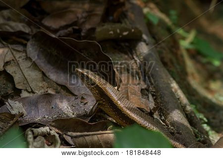 Close up of the upper body and head of a Skink Lizard on the forest floor walking over dead leaves and tree roots.
