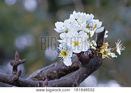 Flower in the Himalayas that bloom in winter