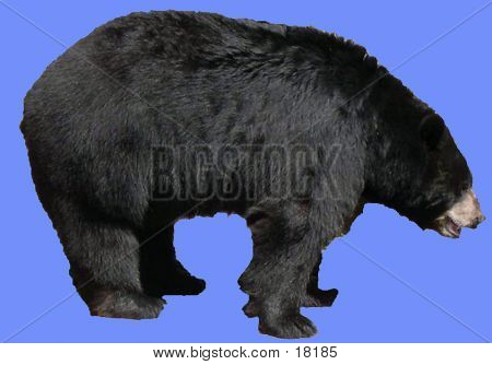 Bear Profile On Blue