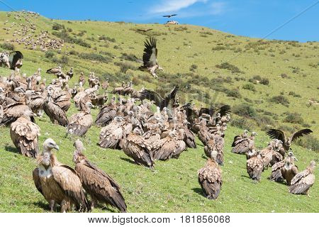 Sichuan, China - Sep 20 2014: Vulture At Sky Burial Site In Larung Gar. A Famous Lamasery In Seda, S