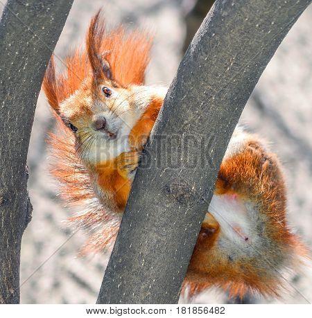 Curious fluffy red squirrel peeking behind the tree trunk. The red squirrel or Eurasian red squirrel (Sciurus vulgaris) is a species of tree squirrel in the genus Sciurus common throughout Eurasia.