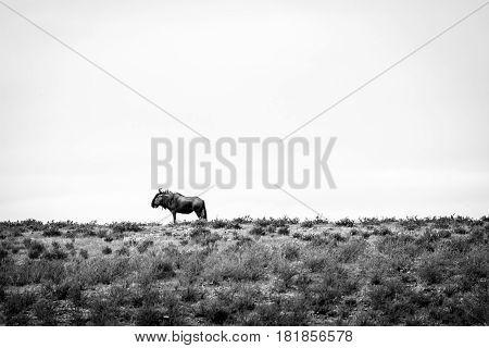 Blue Wildebeest In Black And White.