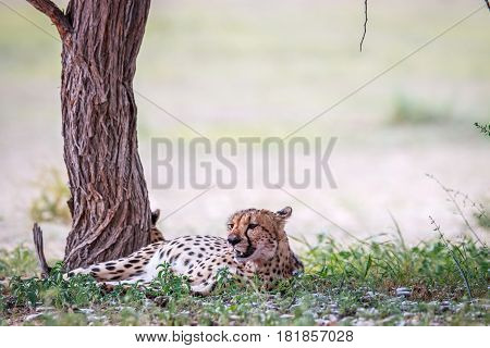 Cheetah Resting Under A Tree.