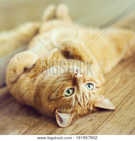 fat red cat lazy lying on the wooden floor