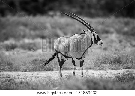 Side Profile Of A Gemsbok In Black And White.