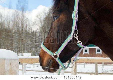 Thoroughbred Bay horse head on a walk in the winter. Sport horses are graceful and beautiful. Care and care for the animals.