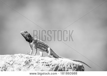 Ground Agama Basking On A Rock In Black And White.