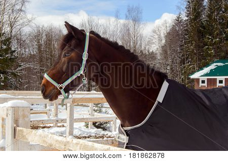 Thoroughbred Bay horse for a walk in the winter. Sport horses are graceful and beautiful. Care and care for the animals.