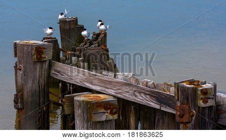Common Tern birds sitting on a dock