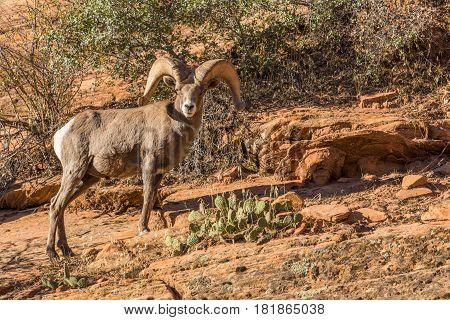 a desert bighorn sheep ram in Utah during the fall rut