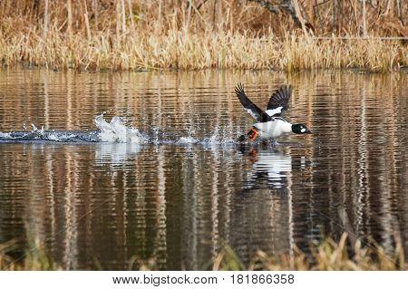 Common golden eye, Bucephala clangula, taking off and splashing water on the lake