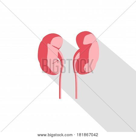 Kidneys infographic. Anatomical icon of kidneys on white background.Illustration.