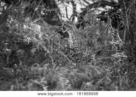Starring Cheetah In Bush In Black And White.