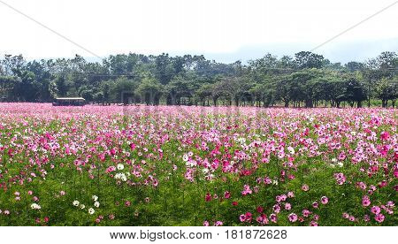 At the Jim Thompson farm.The beautiful cosmos flowers field in the evening.