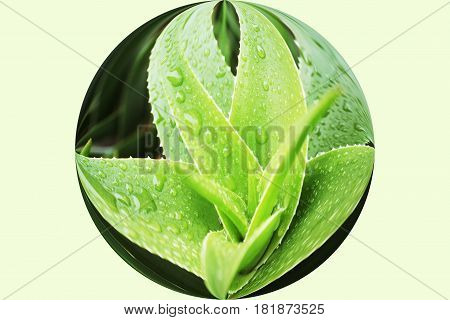 Aloe Vera Plant In Sphere High Quality