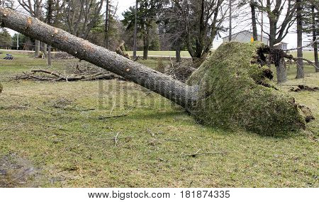 Tree in a lawn is uprooted from strong wind storms
