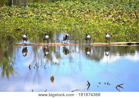 Canadian Geese (Branta Canadensis) perched on a floating log in the marsh and wetlands along the Thornapple River in Lower Michigan