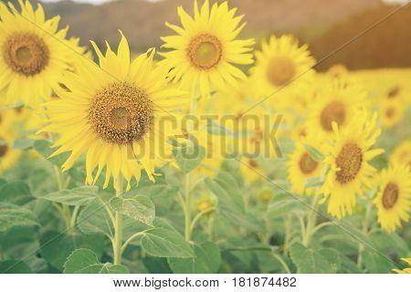 Sunflowers In Sunflower Field, Selective Focus