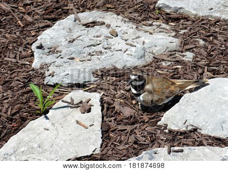 killdeer (Charadrius vociferus), protecting their outdoor nest