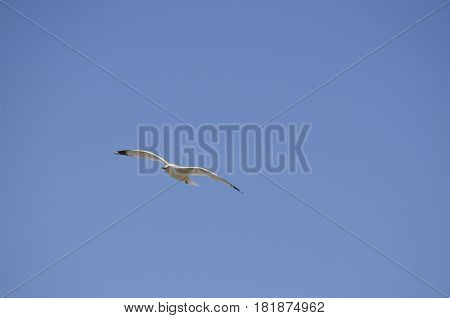 Seagull with wings spread and a blue sky